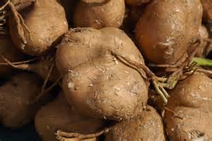 mexican turnip